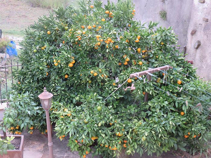 En bordure de terrasse, ce bel agrume a trouvé sa place définitive