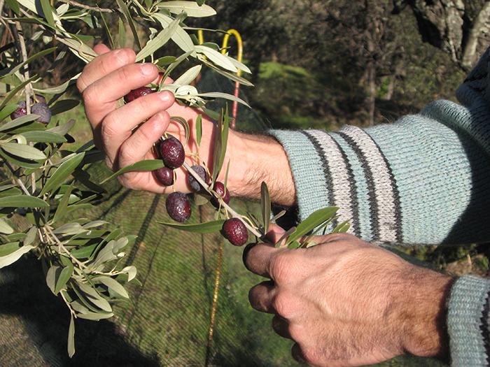 Si le temps et la mouche de l'olive le permettent, la récolte devrait être abondante cette année