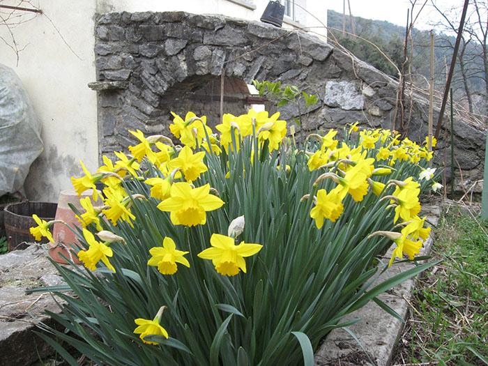 Jonquilles et narcisses annoncent le printemps ... et pourtant ...